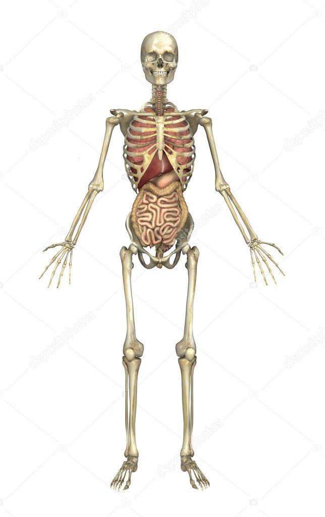 esqueleto masculino con órganos internos — Fotos de Stock © AlienCat ...