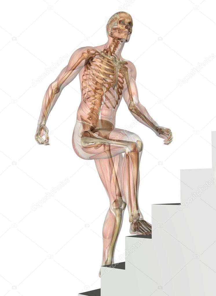 Skelett mit Muskeln - Treppensteigen — Stockfoto © AlienCat #8282747