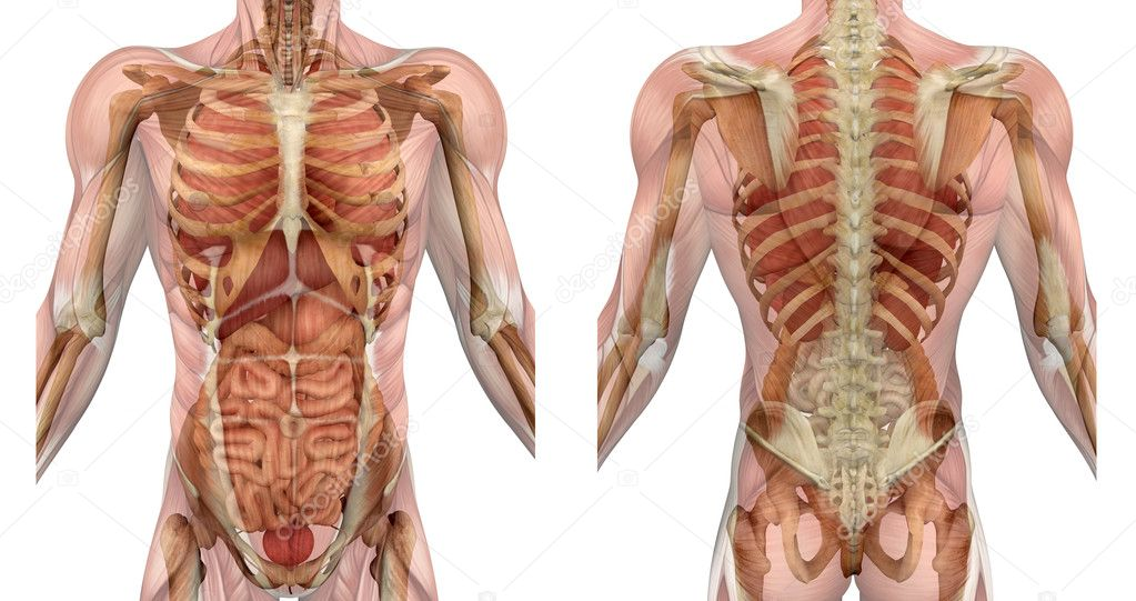Male Torso Front And Back With Muscles And Organs Stock Photo