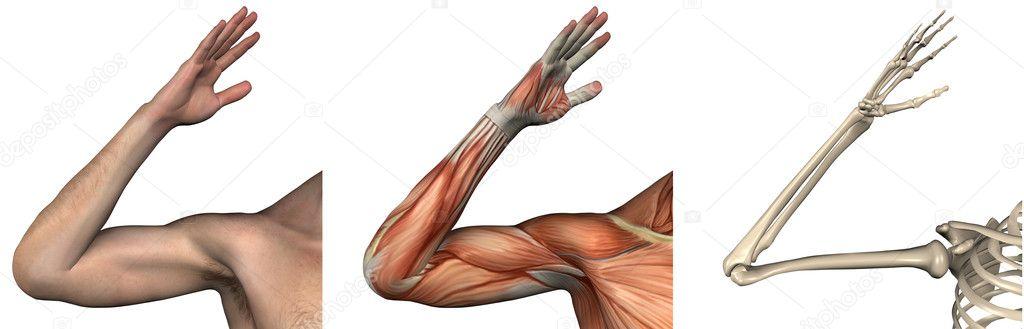 Anatomische Overlays - rechten arm — Stockfoto © AlienCat #8285850