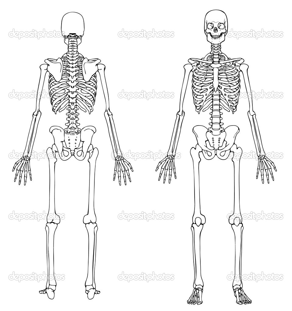 human skeleton front and back  u2014 stock vector  u00a9 aliencat