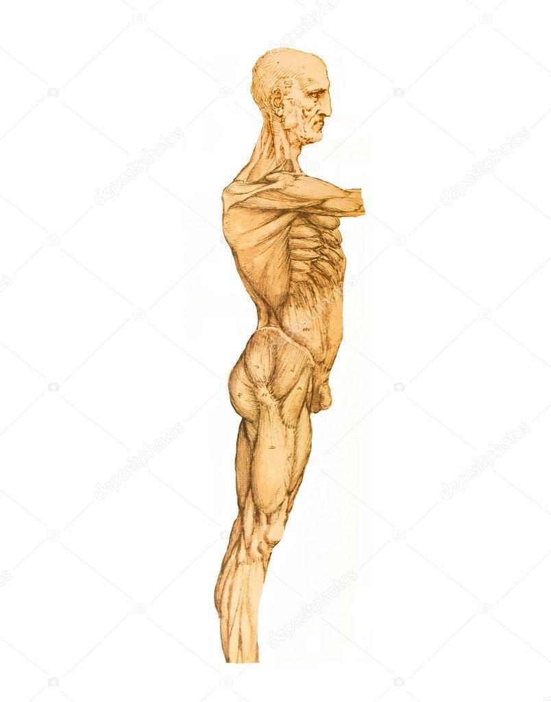 Leonardo da Vinci Stil Anatomie Körper — Stockfoto © lollok #8313233
