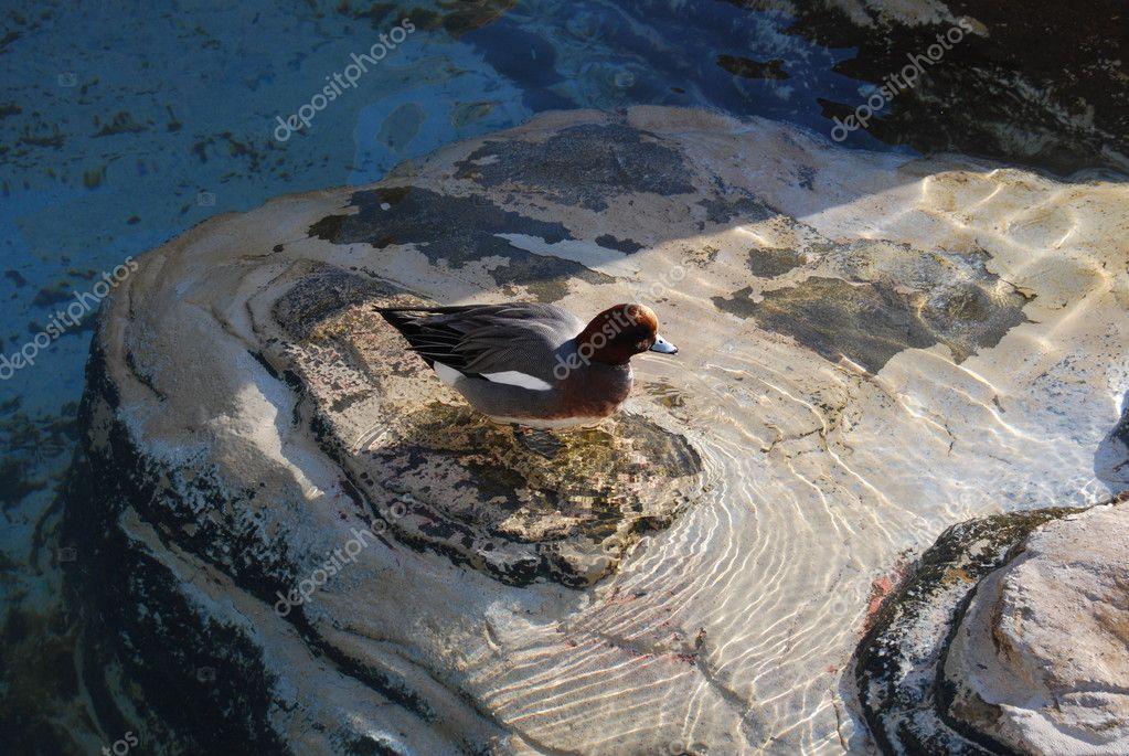 Anatre nuotare in una vasca dell 39 acquario di valencia for Vasca per anatre