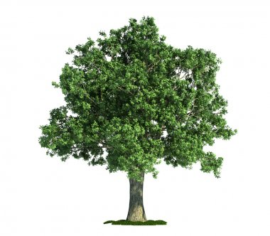 Oak (latin: Quercus) tree isolated against pure white stock vector