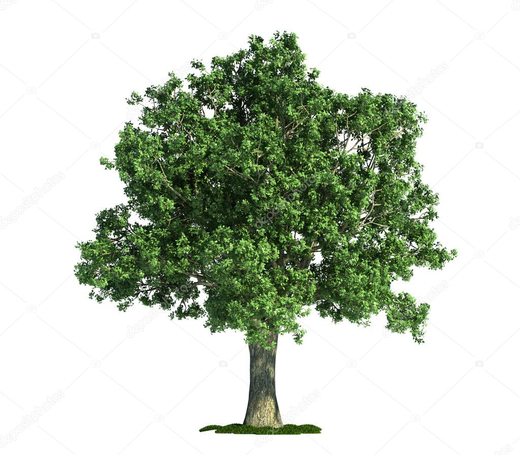 Isolated tree on white, Oak (Quercus)
