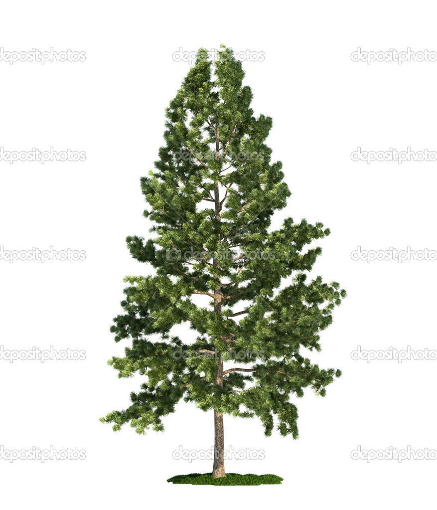 Eastern white pine (latin: Pinus strobus) tree isolated against pure white