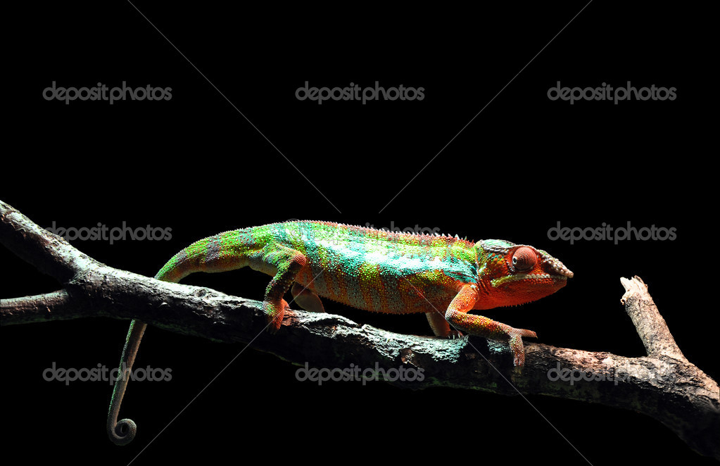 Chameleon isolated on black background