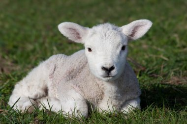 Lamb in field