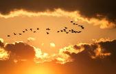 Fotografie kanadische Gänse fliegen bei Sonnenuntergang