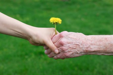 Young and senior's hands holding a dandelion