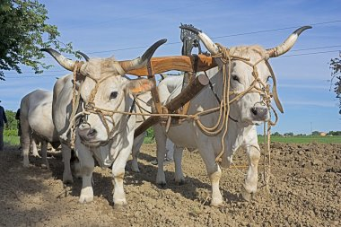 Plowing with bullocks