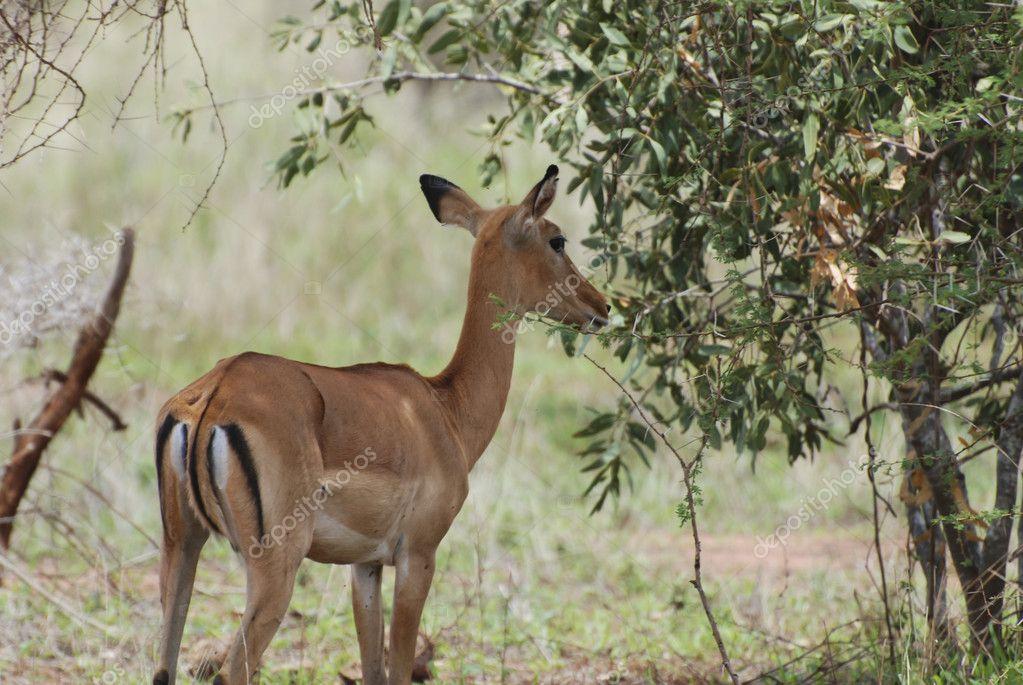 Female impala antelope (Aepyceros melampus petersi)