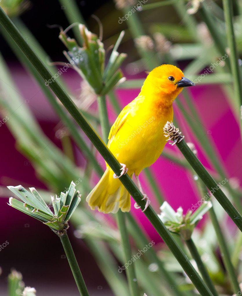 Yellow canary Serinus canaria