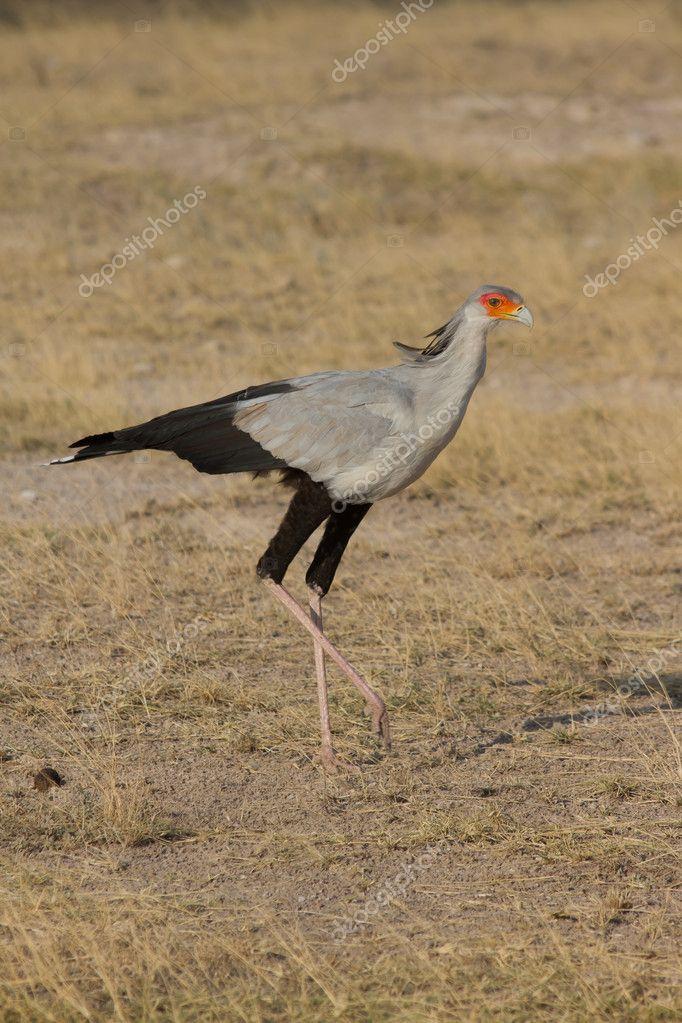Secretary bird walks across savannah