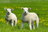 due agnelli