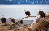 americký orla bělohlavého