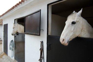 Arabian Mustang