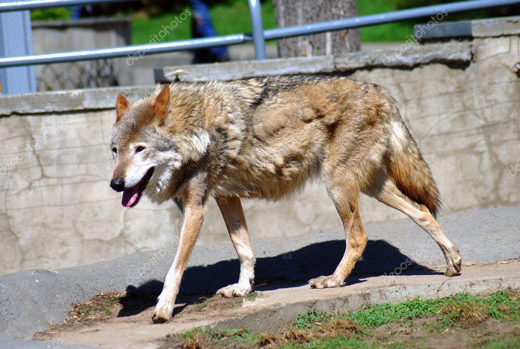 Running wolf portrait