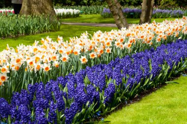 Beautiful spring flowers in Keukenhof park in Netherlands (Holland). Narcissus and hyacinth flowerbed background stock vector