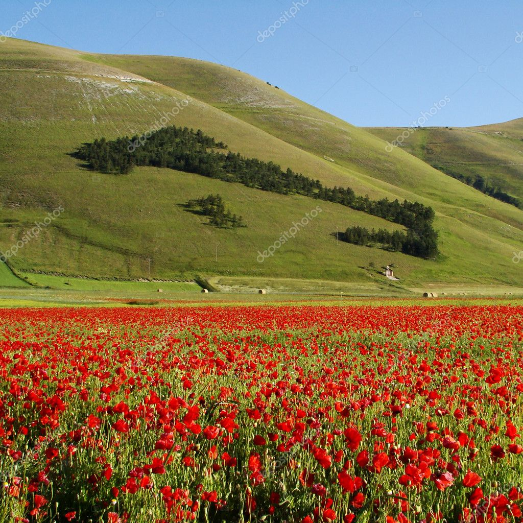 Italian landscape with red poppies