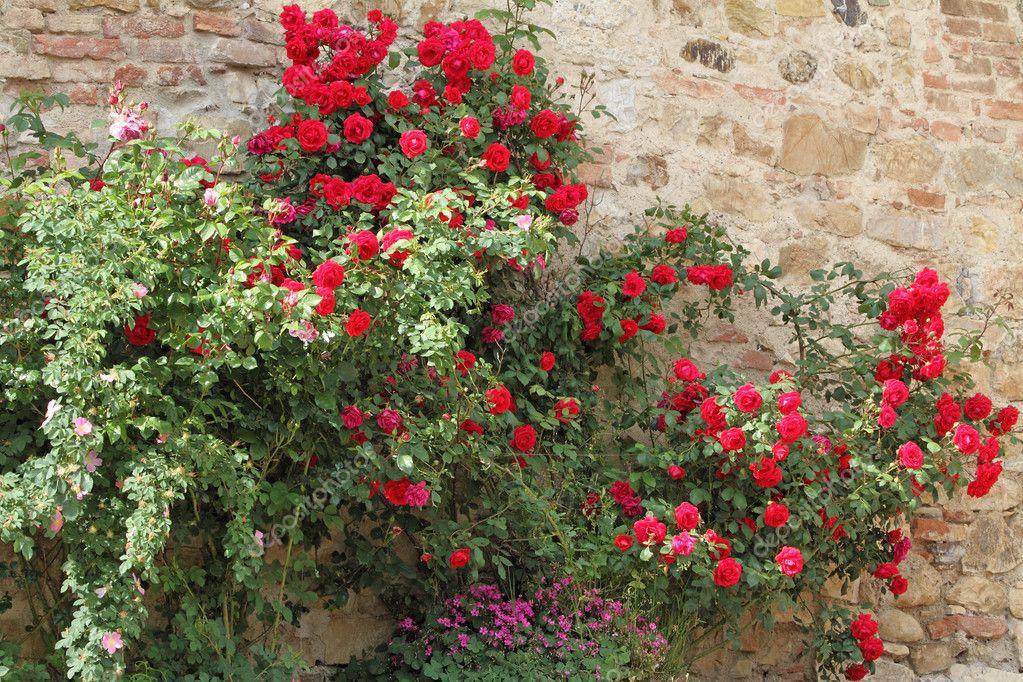 Flowering red garden rose creeper
