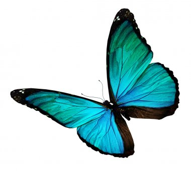 Turquoise butterfly, isolated on white stock vector