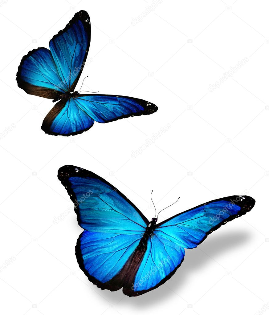 Two blue butterfly, isolated on white