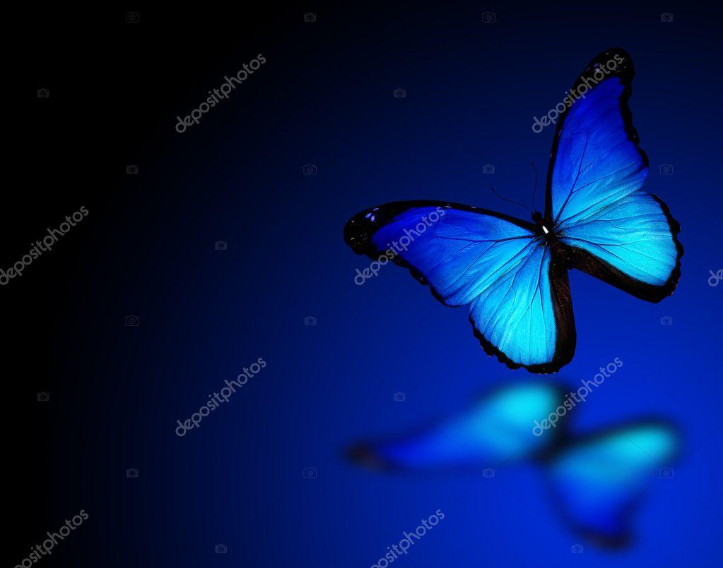 Morpho blue butterfly on dark blue background