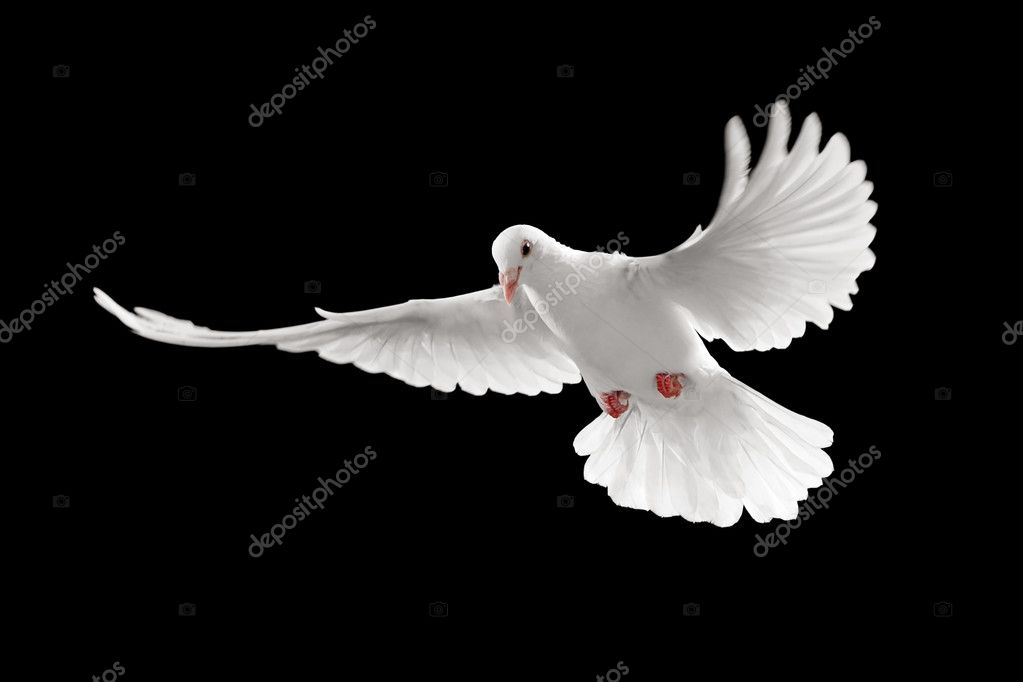 White Dove Pictures Images Stock Photos Depositphotos