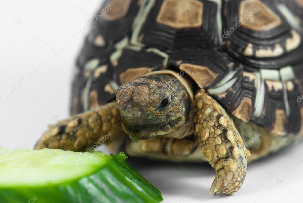 Leopard Tortoise Stock Photo C Vrabelpeter1 8359162
