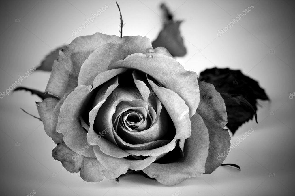 Fotos Rosas En Blanco Y Negro Rosa Blanco Y Negro Foto De Stock