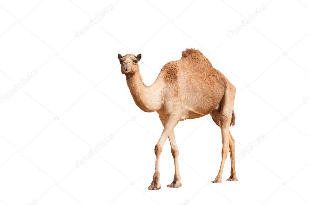 Isolated single hump camel