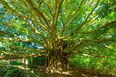 Fotografia albero della vita, incredibile banian