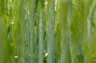 Plants of barley for production of beer