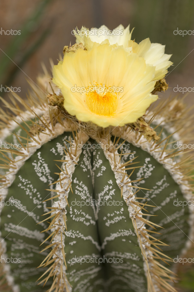 Yellow flowers of a succulent plant stock photo alessandrozocc yellow flowers of a succulent plant stock photo mightylinksfo