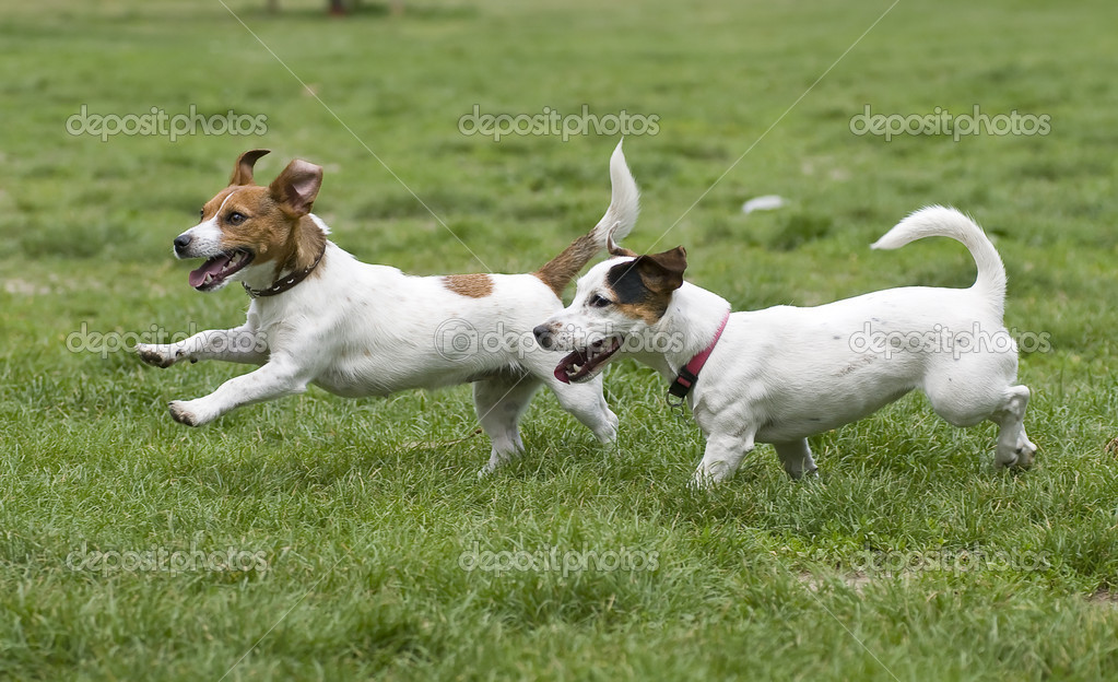 Dogs running on green grass