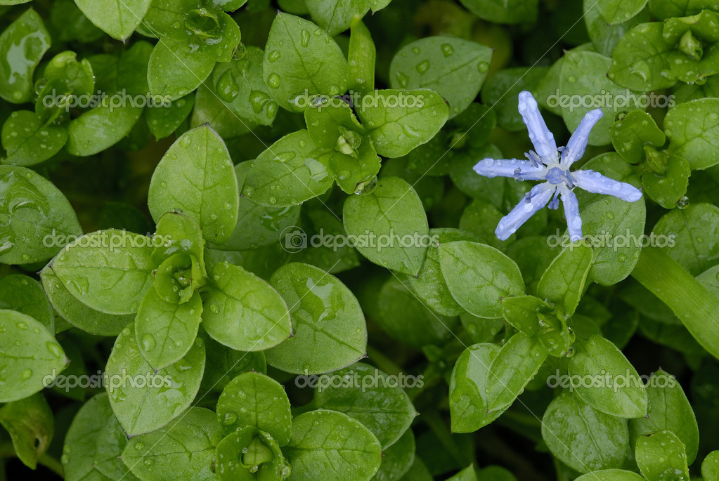 Flower of Scilla (Scilla bifolia) among leaves of chickweed (Stellaria med