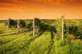 Večerní pohled na vinice
