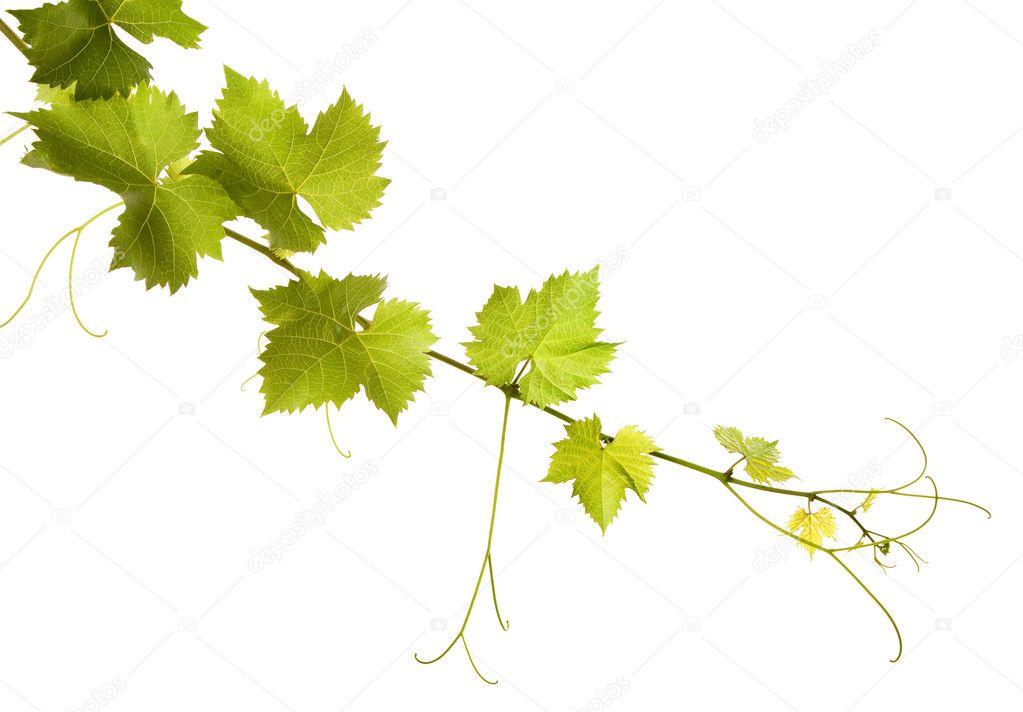 Branch of grape vine on white background