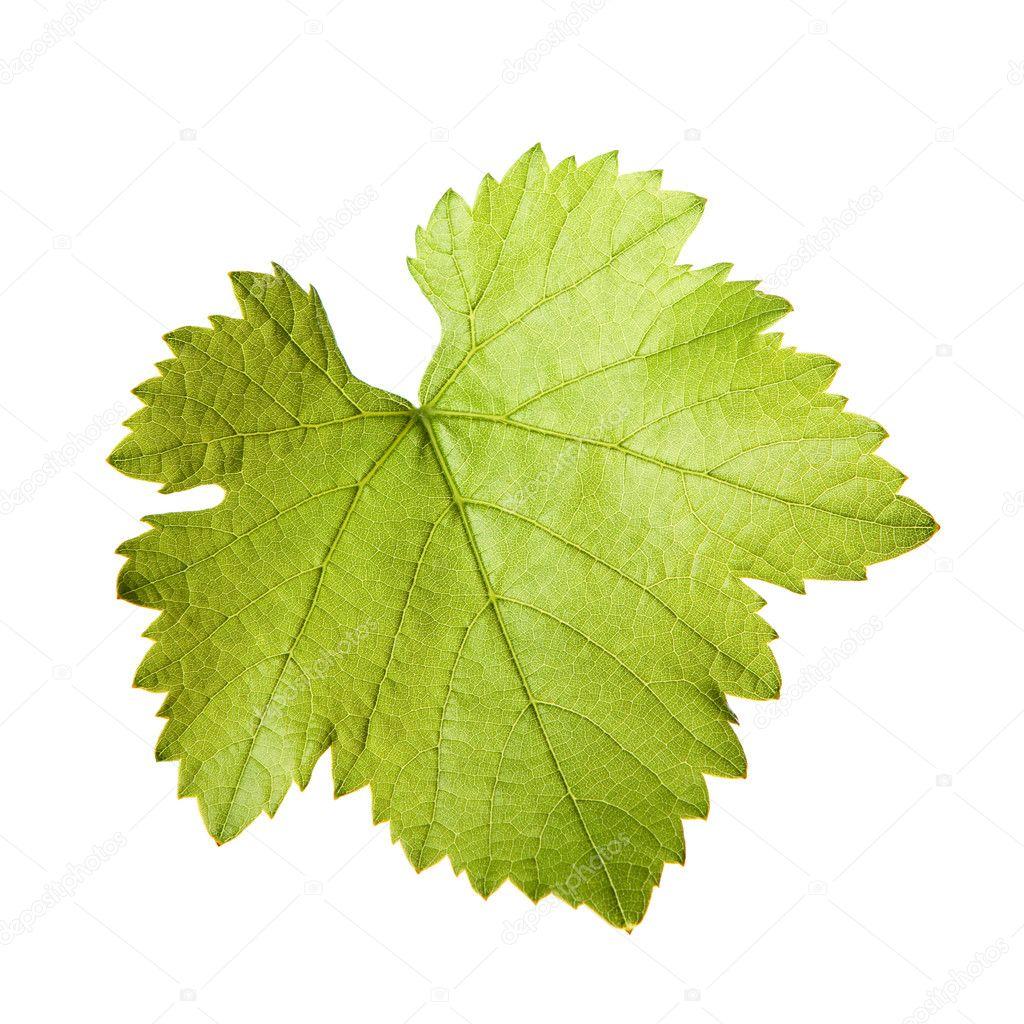 Green vine leaf