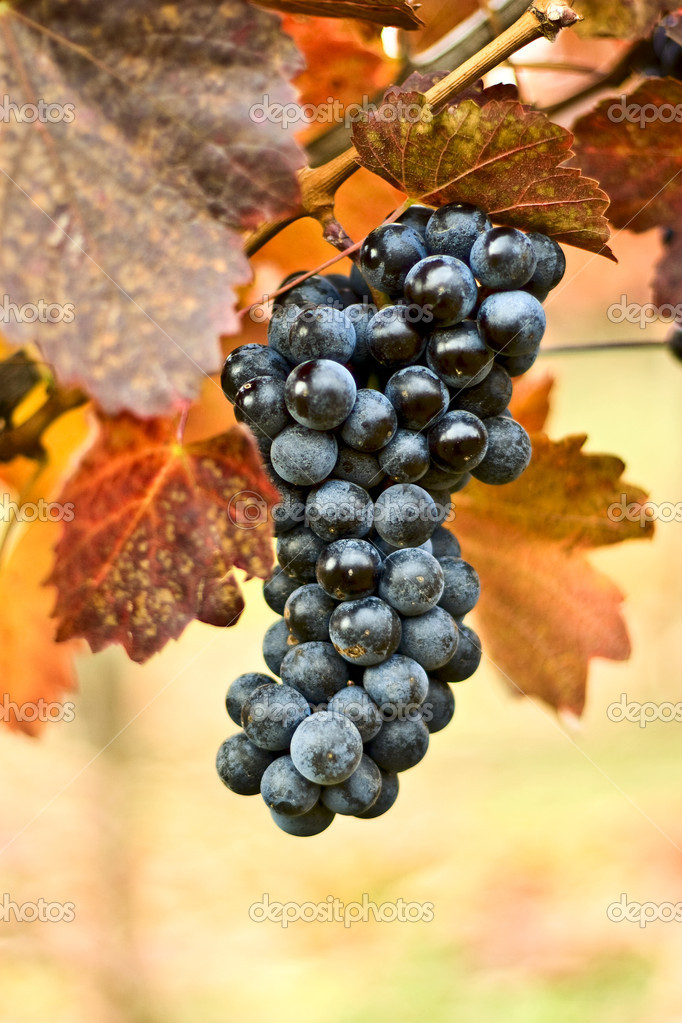 Bunch of grapes on the vine