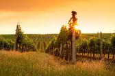 Fotografie Abend-Blick auf die Weinberge
