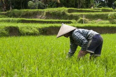 Woman working on the rice fields