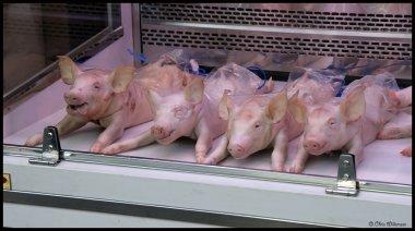 Butchers pigs