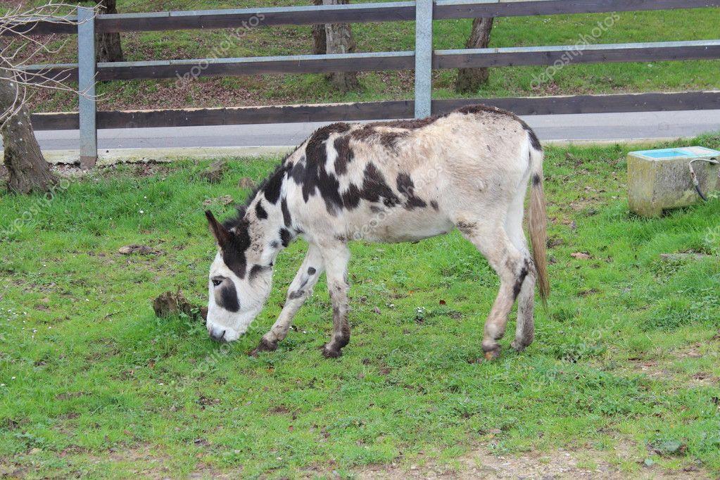 Un burro con una vaca