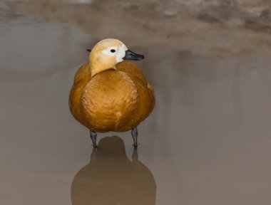 Duck in small water.