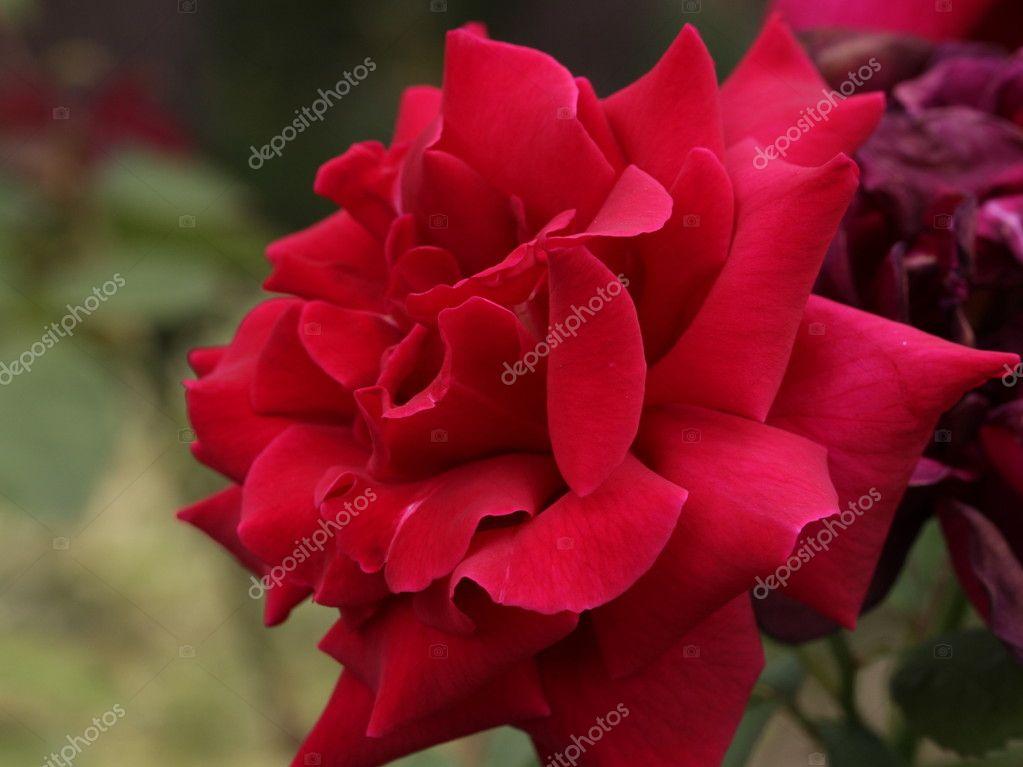 Rose Rosse Dal Giardino Pieno Di Piante In Fiore U2014 Foto Di 47foto