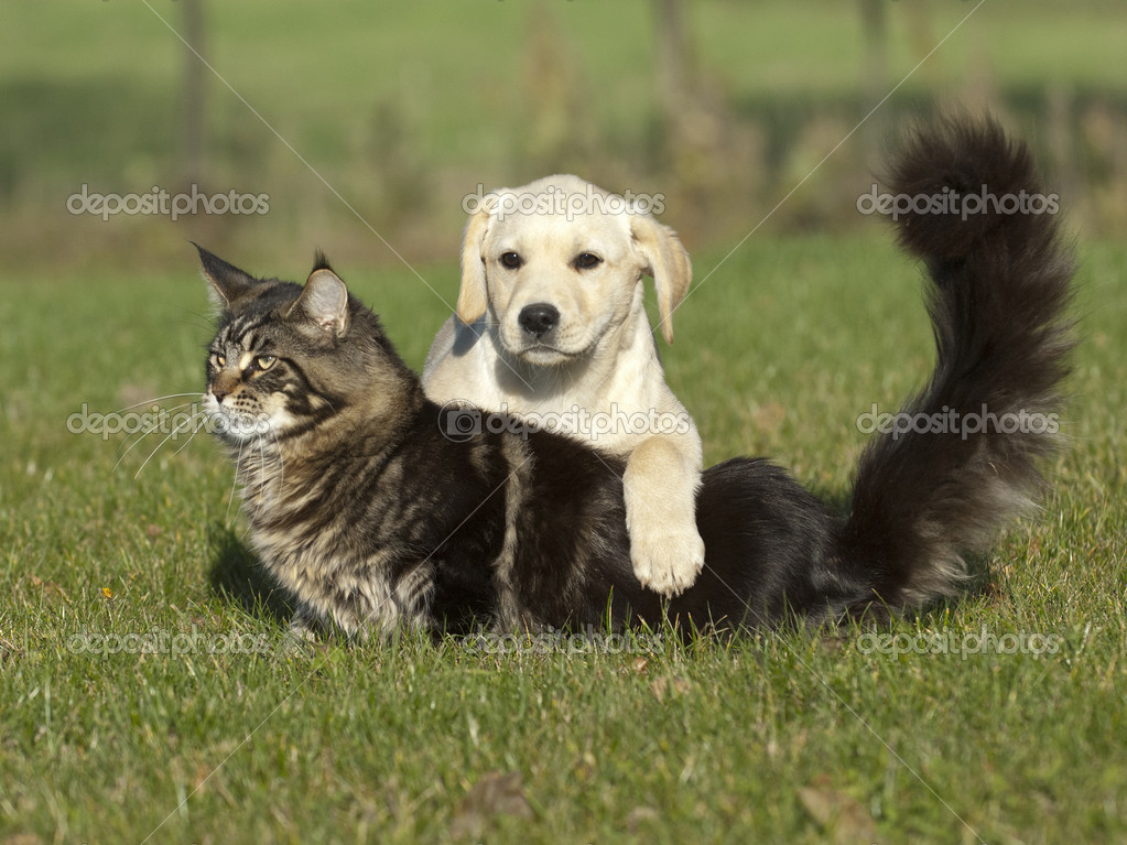 Labrador puppy and cat