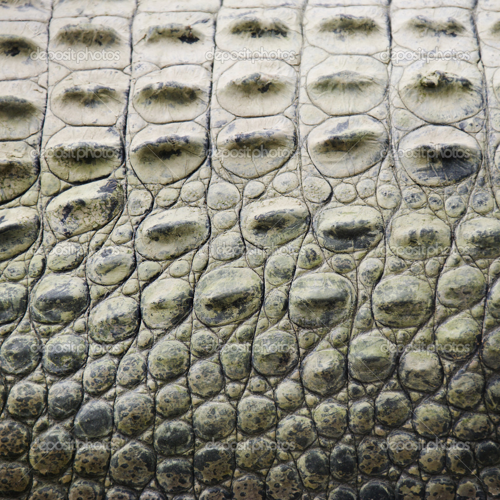 Close up of side of crocodile showing scaly skin, Australia.