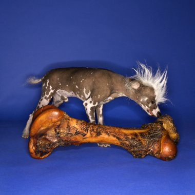 Chinese Crested dog smelling bone.